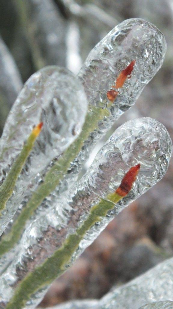 Pine needles coated in ice, Toronto Ice Storm 2013