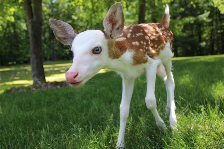 But the white-faced baby deer has somewhat of a sad story: Because of his piebald face, he was rejected by his mother, leaving the owners of Deer Tracks Junction in Cedar Springs, Michigan, to care for the animal.