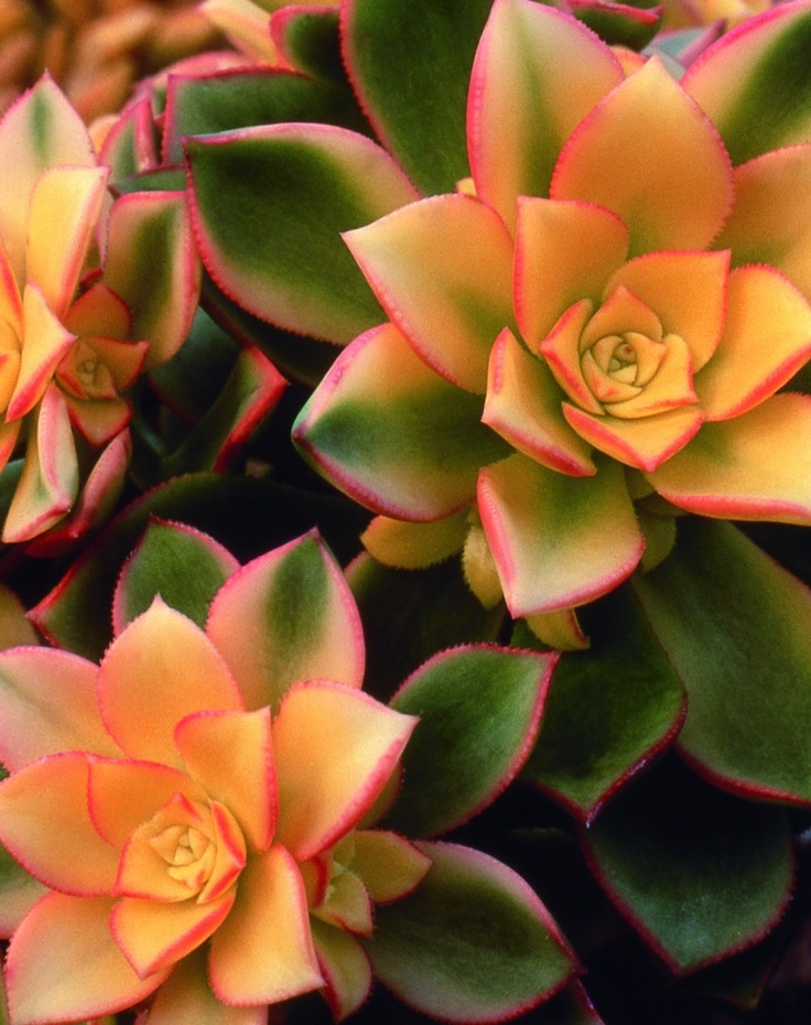 Aeonium 'Kiwi'. Beautiful colours and plant.