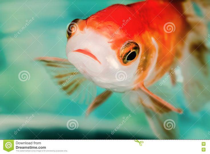 Ojos Grandes Del Color Anaranjado Rojo Brillante Macro Del Pez De Colores Del Primer Foto de archivo - Imagen: 77570327