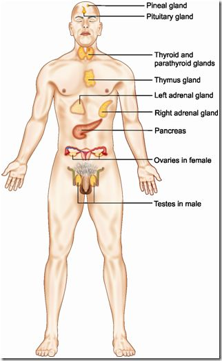 Endocrine System of Human Body