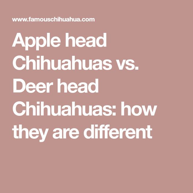 Apple head Chihuahuas vs. Deer head Chihuahuas: how they are different