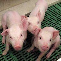 Produccion de cerdos