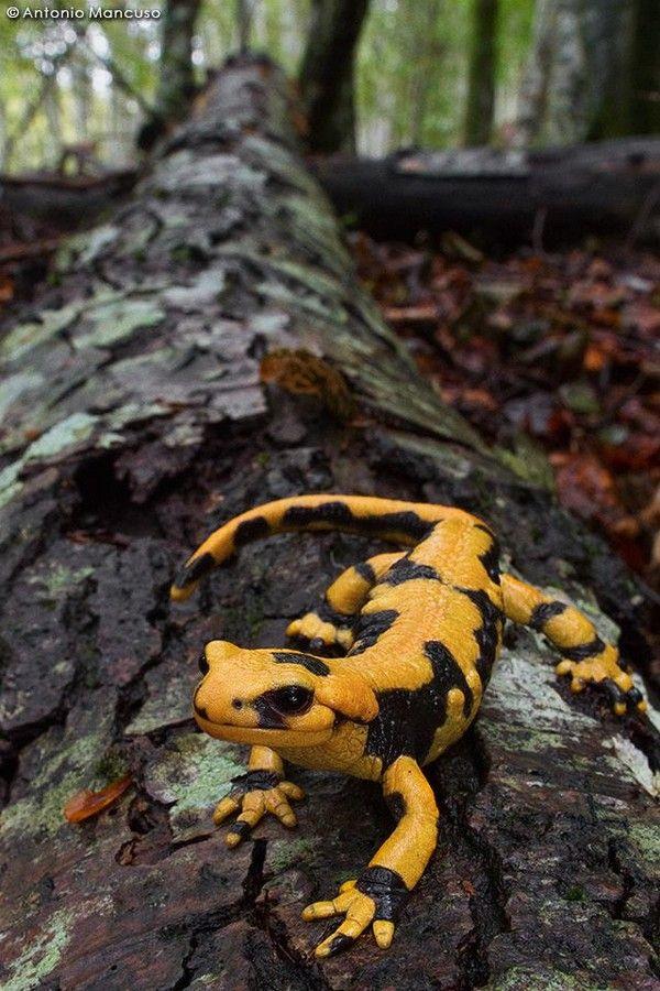 (Salamandra pezzata). (Salamandra salamandra). Fire salamander. Salamandre tachetée. Elle habite les sous-bois de feuillus avec des sols riches en humus, mousses et débris végétaux. Elle quitte son abri la nuit pour rechercher des proies comme des escargots, des vers et des insectes. Cette espèce se décline en jaune, orange, noire, striée ou tachetée.