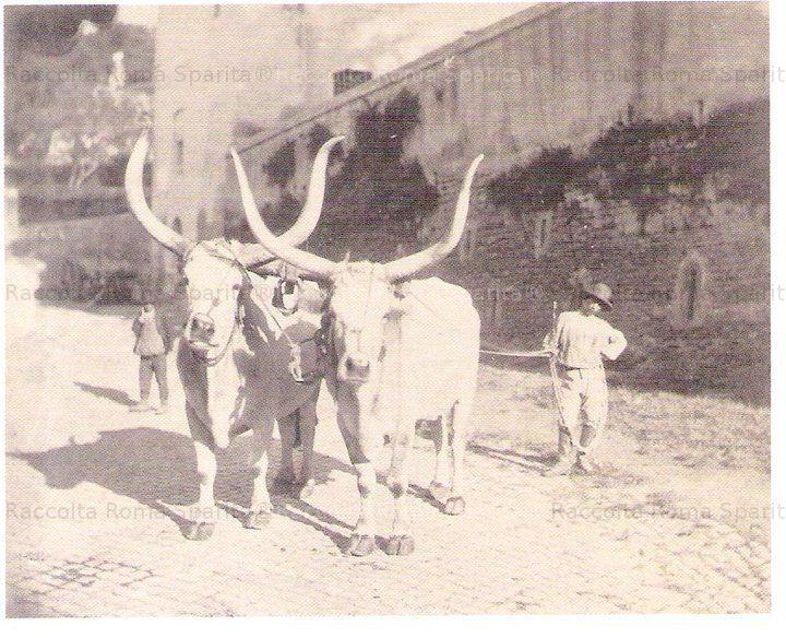 Giovane bovaro in posa con i suoi buoi maremmani in Via del Velabro, all'altezza della Chiesa di San Giorgio al Velabro Anno: 1880