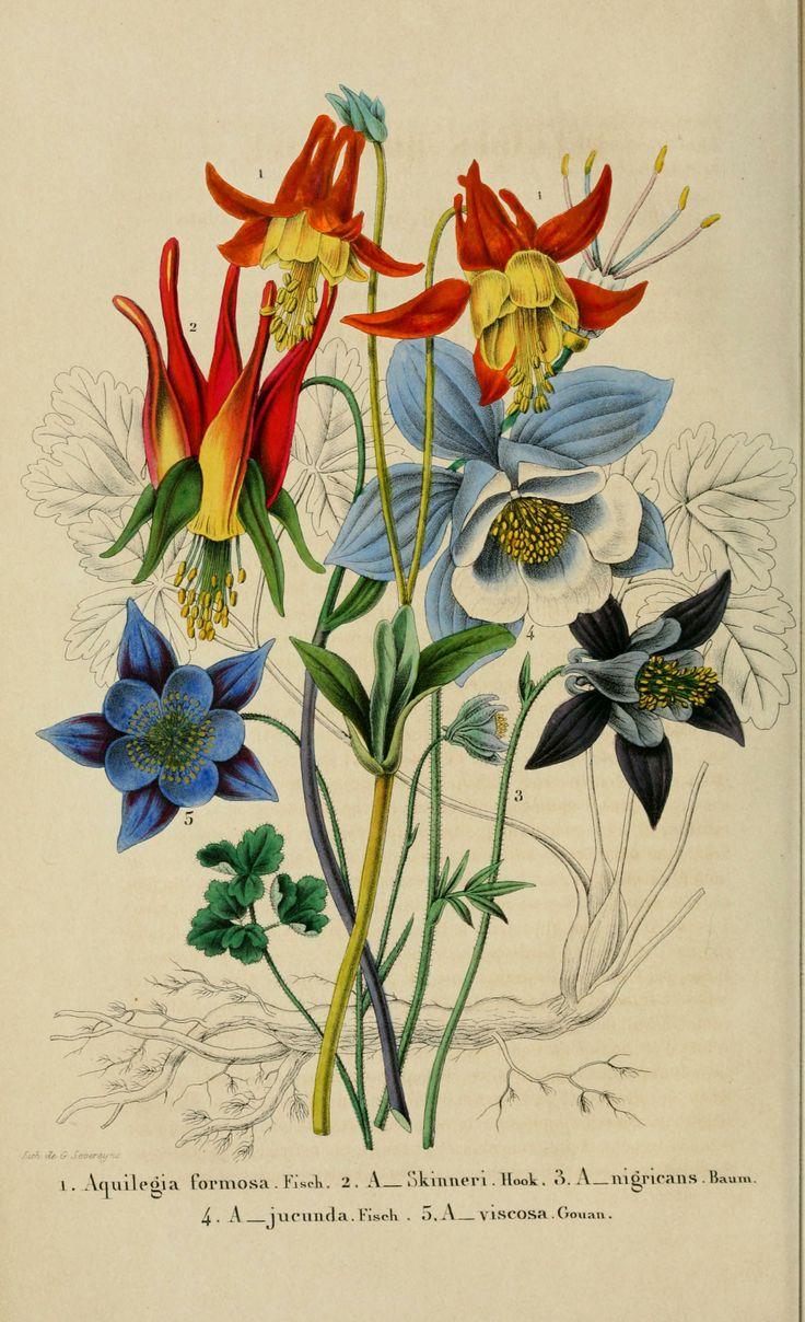 Aquilegia formosa - Aquilegia skinneri - Aquilegia nigricans - Aquilegia glandulosa - Aquilegia viscosa - circa 1854. Antique botanical illustration.