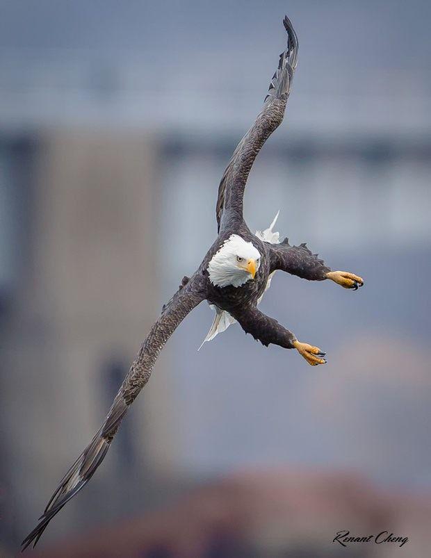 AMERICAN BALD EAGLE - Animal Photography by Renant Hong Cheng