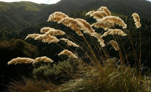 Austroderia (Toetoe): New Zealand's largest native grass, growing in clumps up to 3m in height. Drooping flower head, cream coloured plume, serrated leaf edges that can inflict cuts to the human skin. Not to be confused with Pampas, an invasive weed.