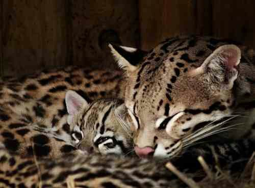 How many padded digits does an Ocelot have?