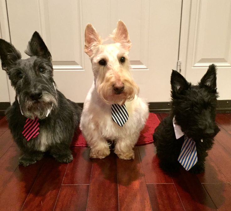 Scottie dog ties