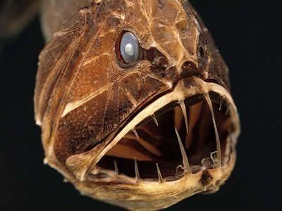 10 Horrible Deep Sea Creatures (sea monsters, sea animals, sea fish) - ODDEE...fangtooth..this one freaky