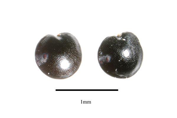 http://www.ars-grin.gov/npgs/images/sbml/Celosia_odorata_seeds.jpg