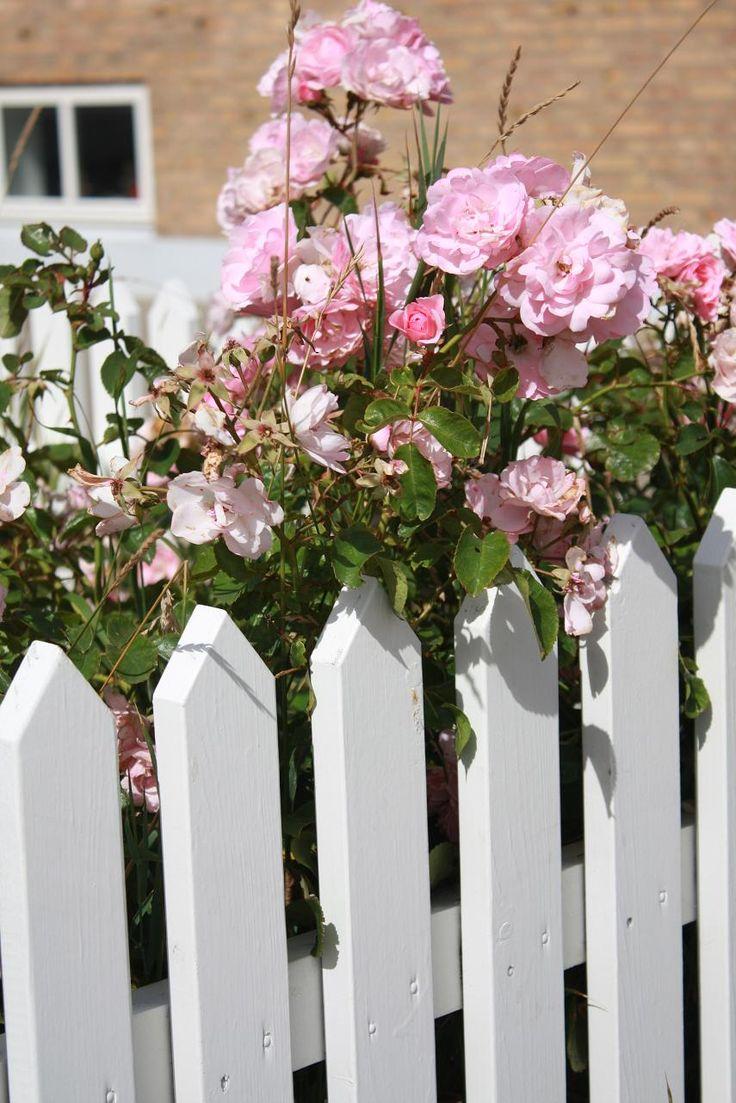 Danish roses