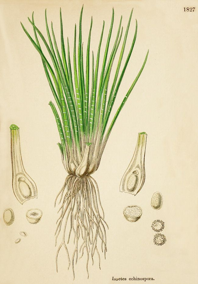 Isoetes echinospora - Spiny Spore Quillwort
