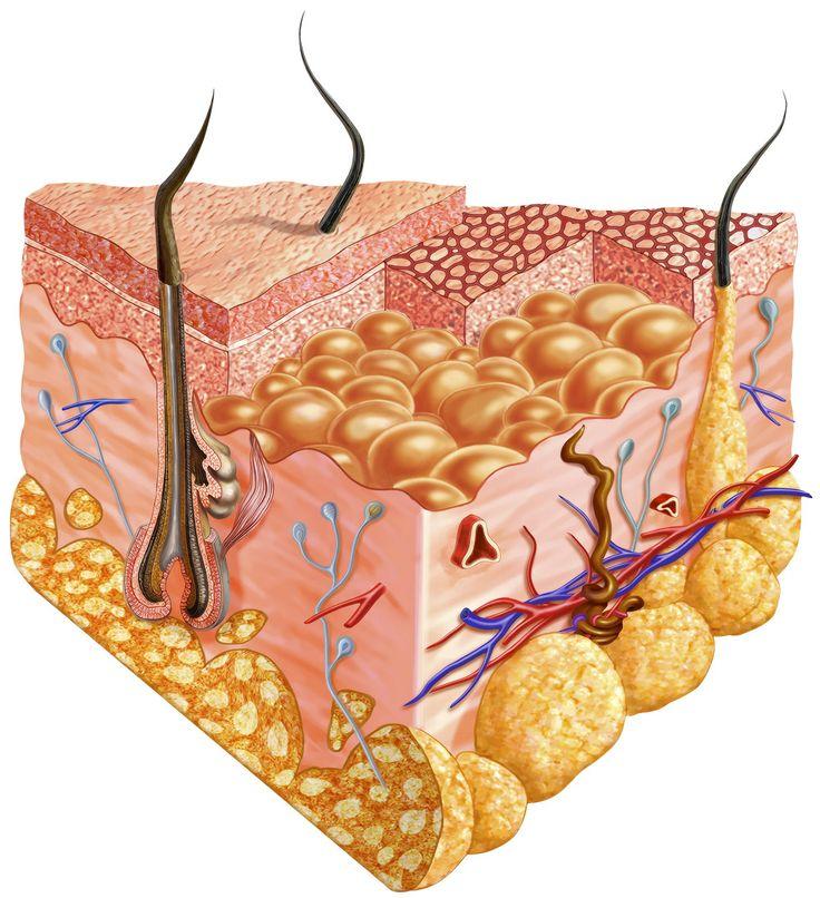 Detailed cutaway diagram of human skin.