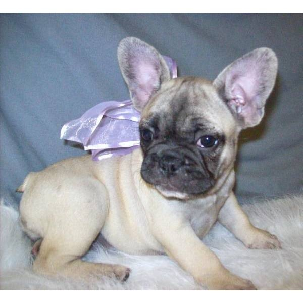 french bulldog rescue wi 1000 images about french bulldogs on pinterest french 4313