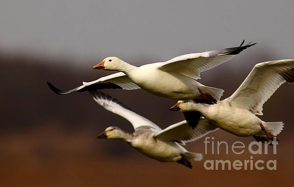 snow-goose-formation-migration-robert-frederick