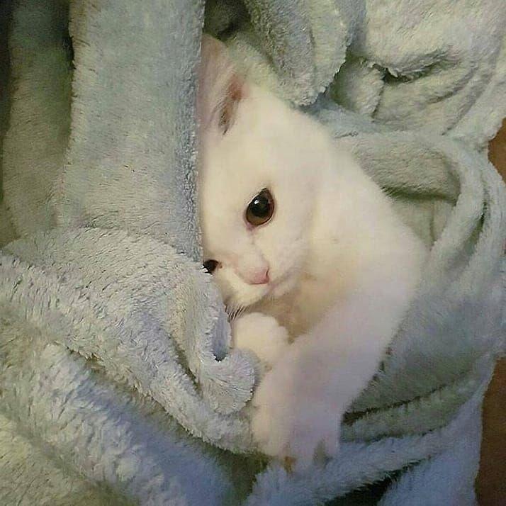 Anam Khan Albino Cat Kittens Cutest Cute Cats