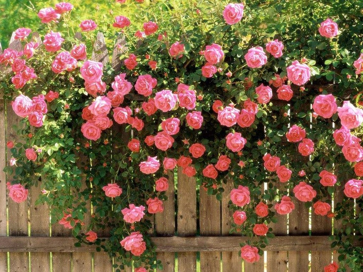 Blooming Pink Roses on a Fence