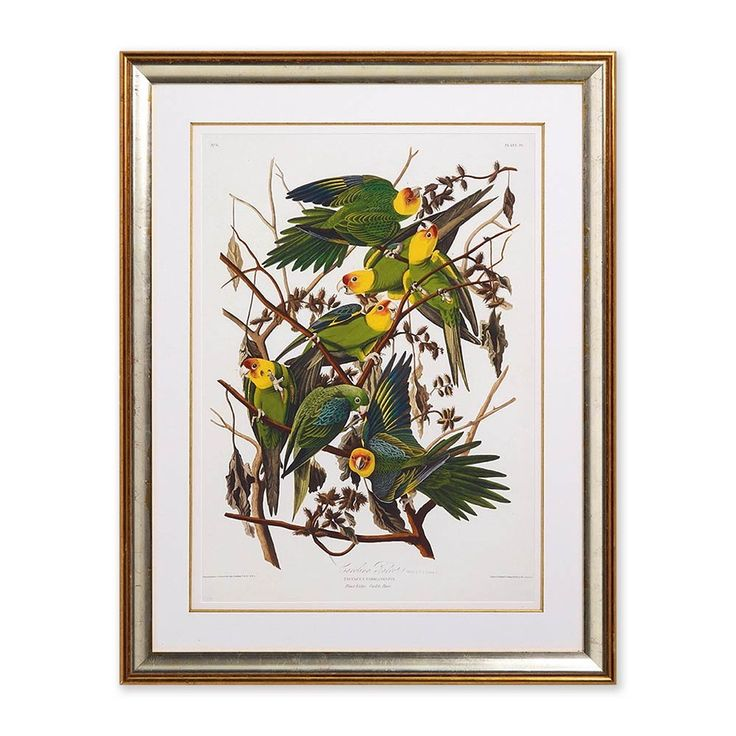 The Carolina parrot Audubon framed print | Natural History Museum Online Shop