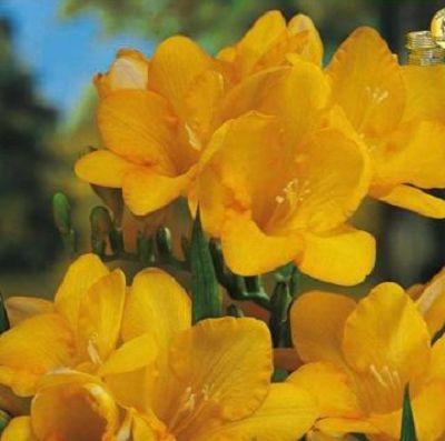Frezia Galbena. Planteaza 1 bulb in martie - aprilie si vei avea frezii in iunie - august.