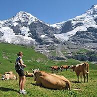 Wandelaar tussen alpenkoeien (Bos taurus) in alpenweide in de Zwitserse Alpen, Zwitserland