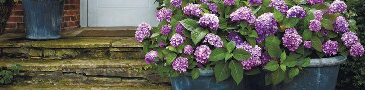 BloomStruck - Hydrangea macrophyllia