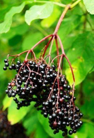 Tinctura de Fructe de Soc: Elixirul Curelor de Slăbire