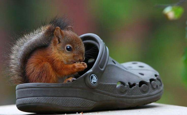 Dieser knuffige Wicht ist sooooo ... niedlich herzallerliebst süß goldig bezaubernd. Der große Schuh zeigt wie winzig das Eichhörnchen ist. Ich möchte es am liebsten knuddeln!!! ❤