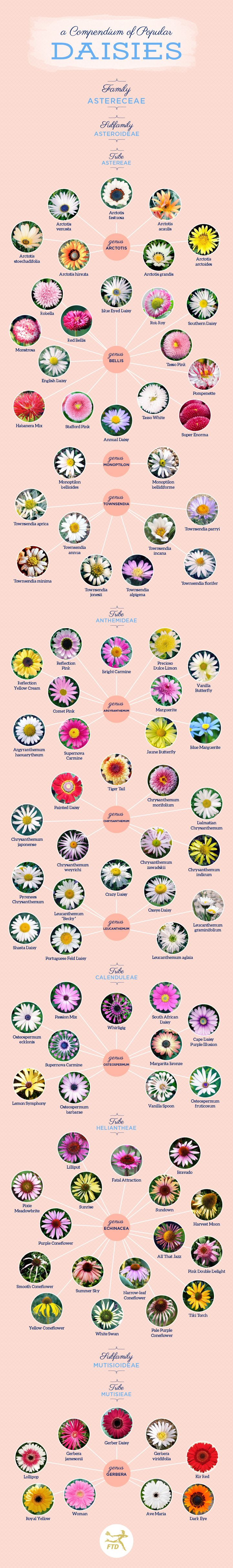 We've created a compendium with 94 types of daisies, including the most popular varieties: English daisies, Shasta daisies, Gerbera daisies, and Painted daisies.