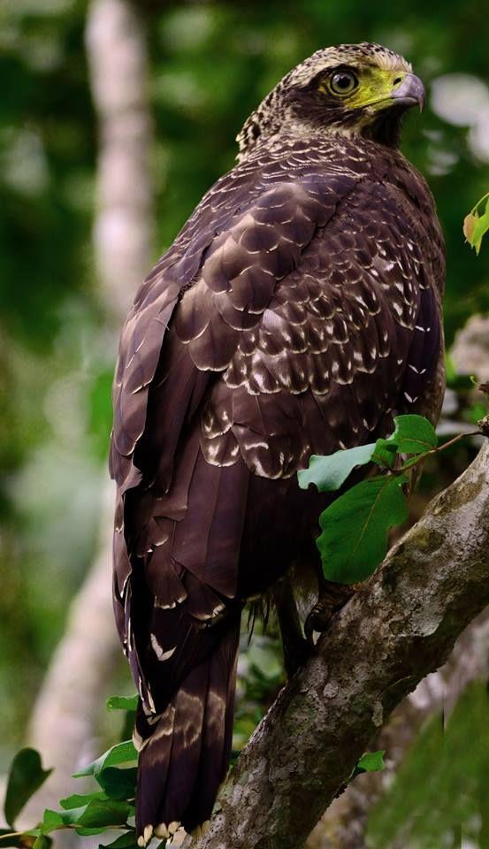 Águila Serpiente con Cresta. Himalaya, Tibet, Bali, Filipinas y China.