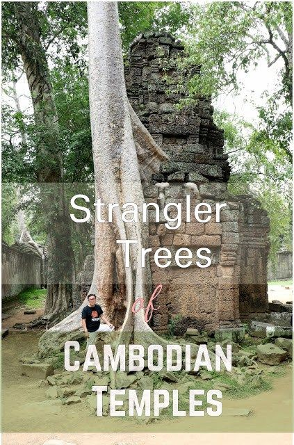 Strangler Trees at Cambodian Temples It is amazing how few centuries of neglect has completely changed the profile of Angkor Temples in Siem Reap! Bizarre is the word! Huge thick roots, gripping and crushing the temples, the stones scattered around like toys, the sights can be intimidating.