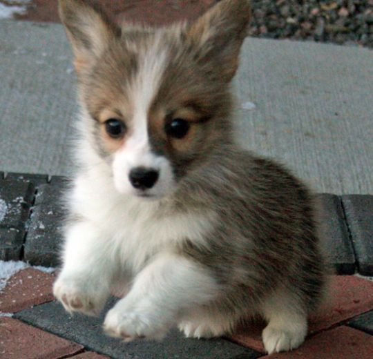 Cutest Animal Ever: Welsh Corgi Puppy
