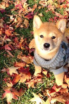 Fall pup among the leaves #shiba