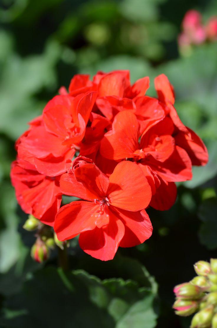 Pelargonium zonale 'Dark Red' pelargonie páskatá klasická