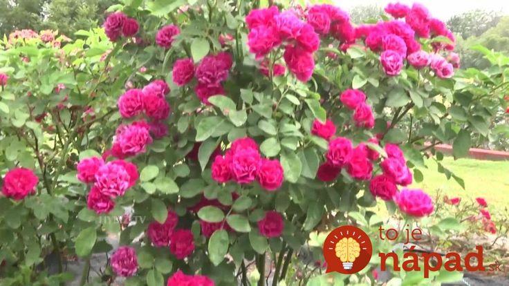 Nemusíte kupovať nič špeciálne: Pestovatelia s najkrajšími ružami v okolí prezradili, prečo ich ruže kvitnú celú sezónu ako divé!