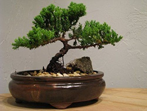 4 Steps to Prune the Perfect Jade Bonsai | World of Succulents
