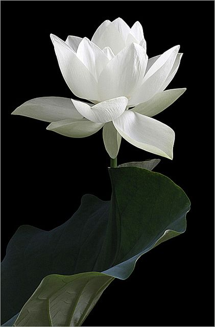 White Lotus Flower