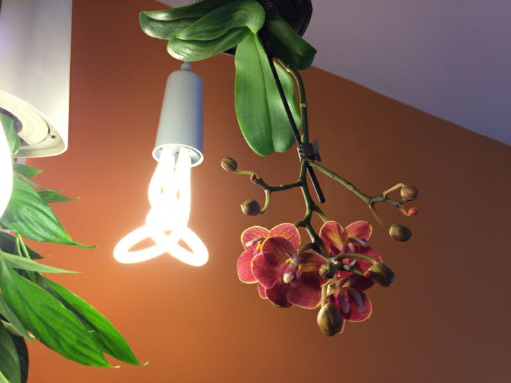 Plumen izzó és orchidea