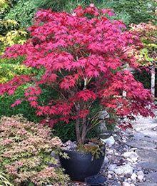 Build a Japanese Garden - Japanese Garden Plants