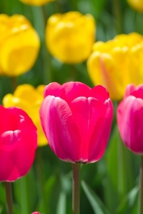 The Best Time to Plant Tulip Bulbs  tulips,iris, crocus, daffodils