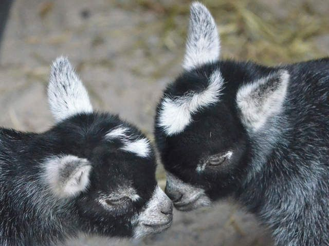 Maryland Zoo in Baltimore welcoming to African pygmy goat kids - ABC2News.com