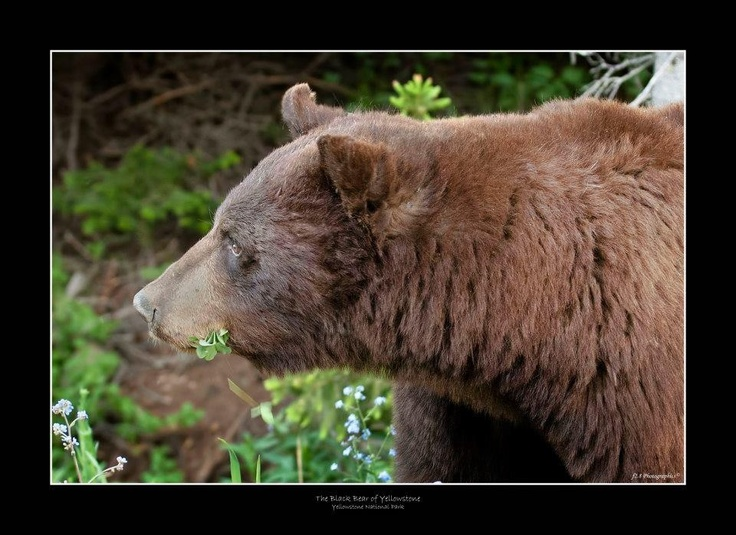Brown Bear of Yellowstone.