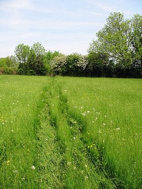 A picture of long grass in which previous walkers have trodden down the long grass making tracks.