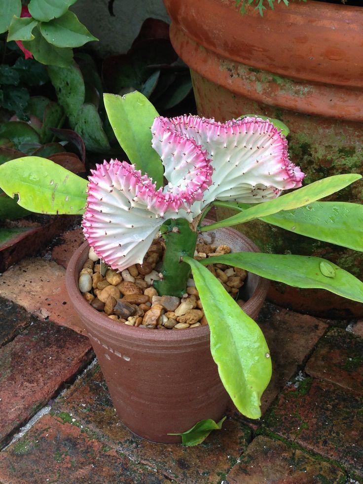 Euphorbia Lactea -  cool plant