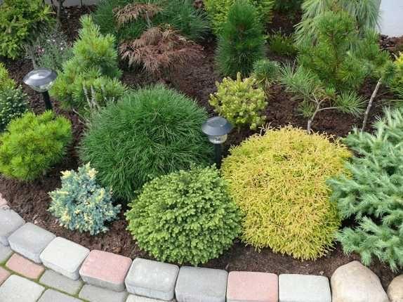 Карликовые хвойные растения для сада