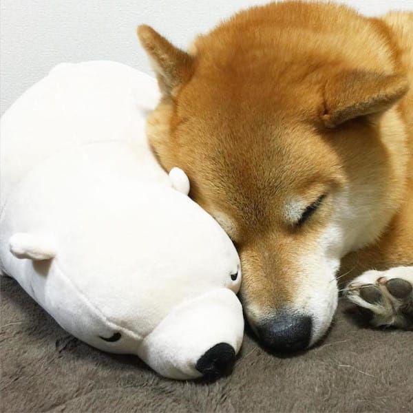 Shiba Inu loves stuffed toy