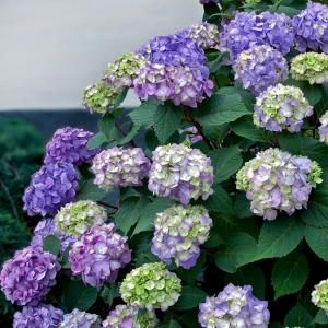 3 gal. Endless Summer BloomStruck Hydrangea-26353 at The Home Depot