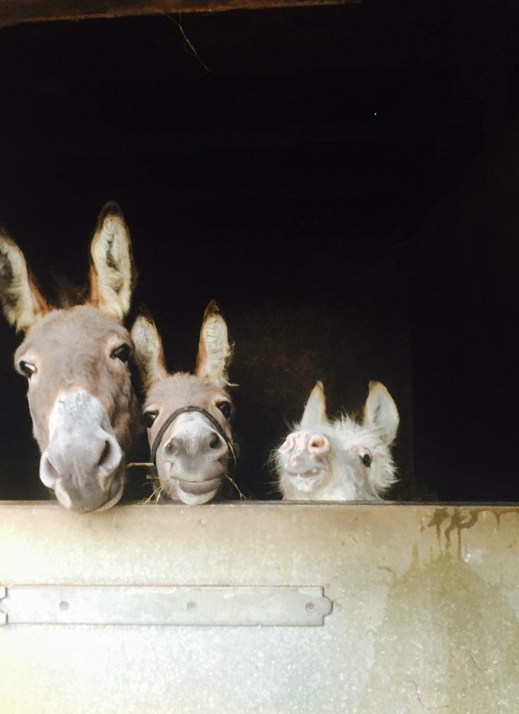 Mike's Donkeys ~ Little Rolo always wants to do what the bigger boys can do! ❤️
