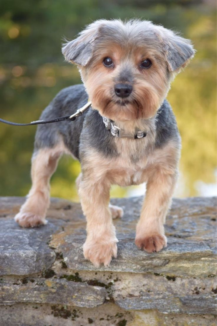 ADOPTED! Meet Chi-Chi, an adoptable 10 yr. old male Yorkshire Terrier Yorkie looking for a forever home. Available at Abandoned Angels Cocker Spaniel Rescue, Flushing, NY.